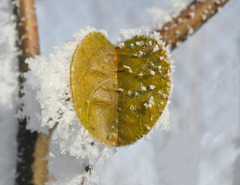Download Quince Leaves Covered In Ice Stock Image - Image: 28193509
