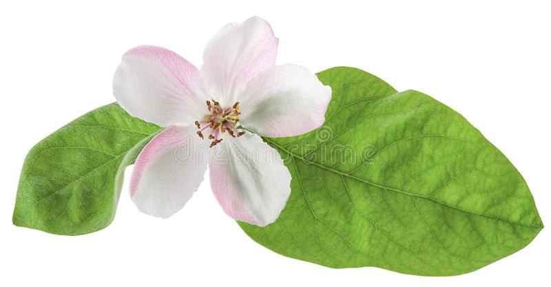 Quince or pear tree flower with green spring leaves isolated on white background with clipping path. Close-up, macro. Quince or pear tree flower with green royalty free stock photo