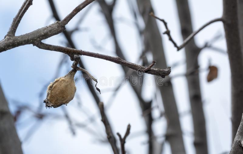 Quince rotten fruit on the tree. Dry quince stock image