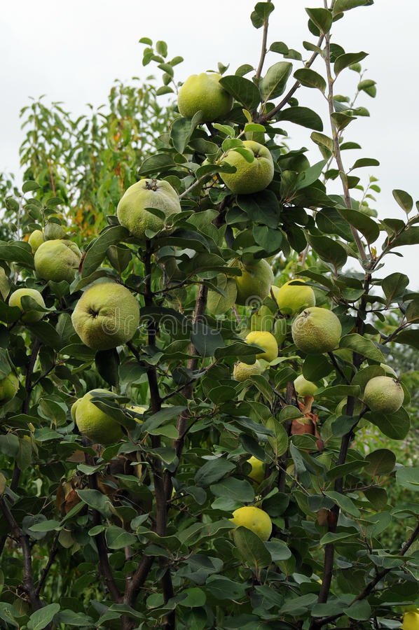 Free Quince Tree Stock Image - 16279631