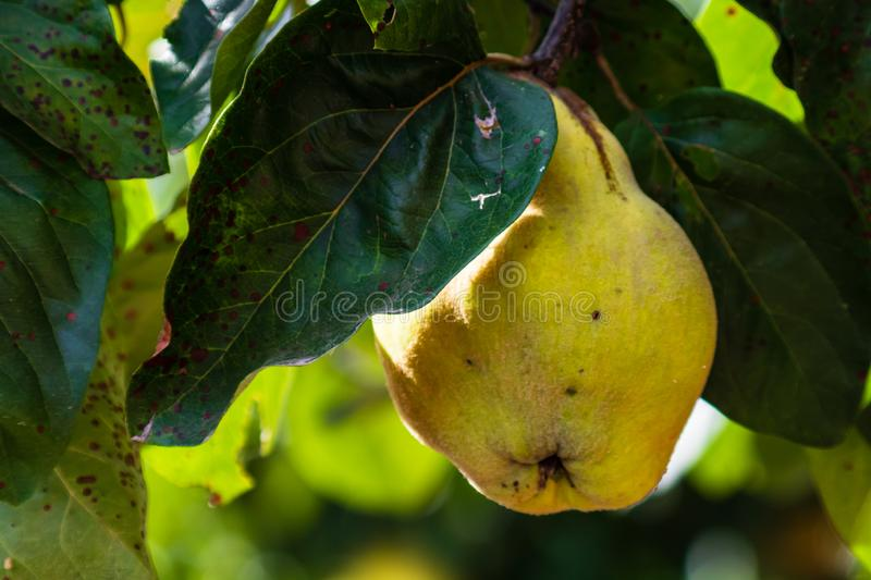 Quinces growing on tree, close up view. Branch of a tree with ripe fruits of quince and leaves royalty free stock image