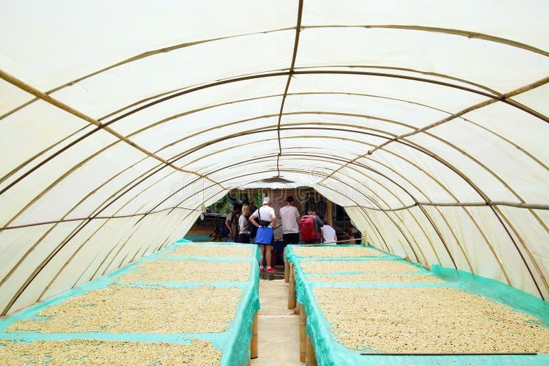 QUINDIO, KOLUMBIEN, AM 15. AUGUST 2018: Kaffeeausflug in den Quindio-Kaffeekulturen Kaffeebohnen, die in der Sonne trocknen stockfotografie