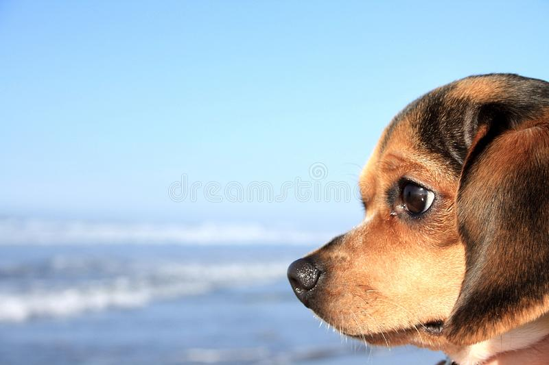 Quinn. The Olde English Pocket Beagle, looking out at the ocean stock photography