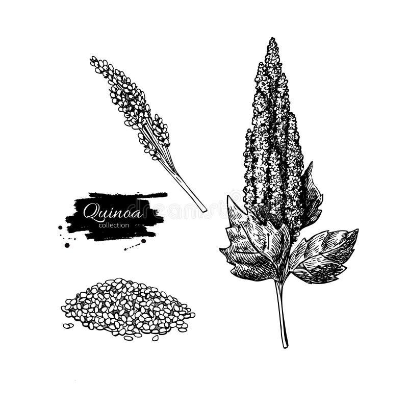 Quinoa διανυσματικό σχέδιο superfood Απομονωμένο χέρι που σύρεται διανυσματική απεικόνιση