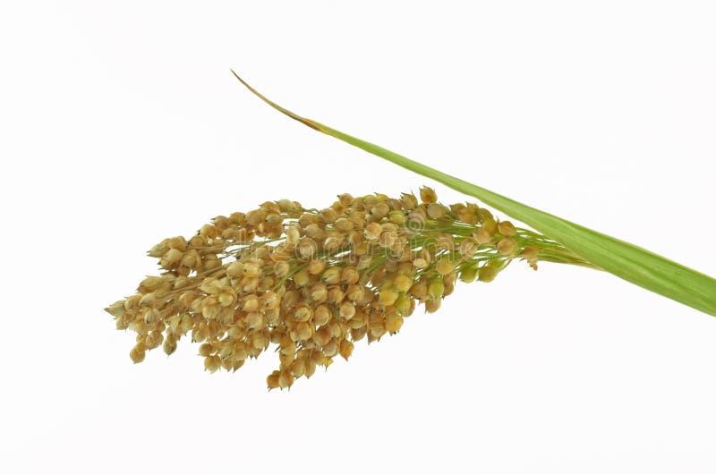 quinoa obraz royalty free