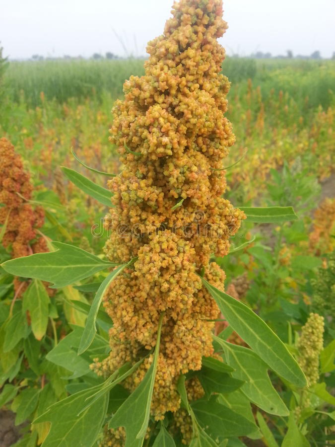 Quinoa near harvesting stock images