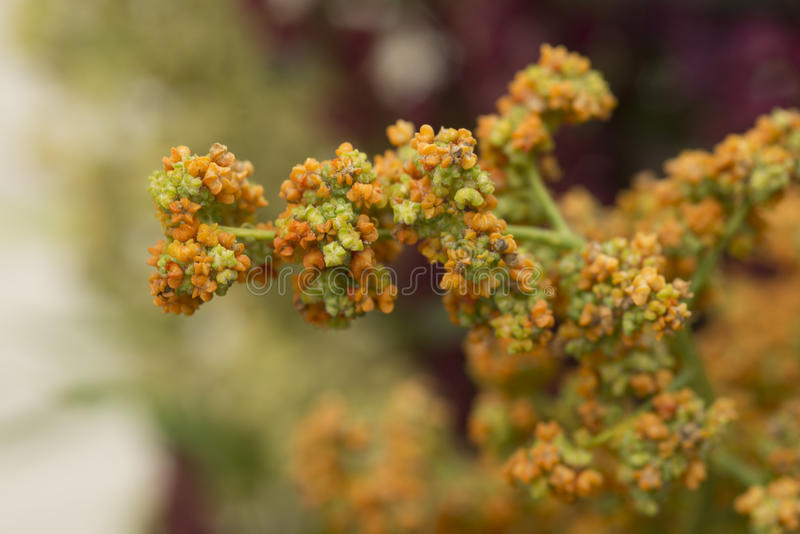 Quinoa plant. With seeds on it royalty free stock photos