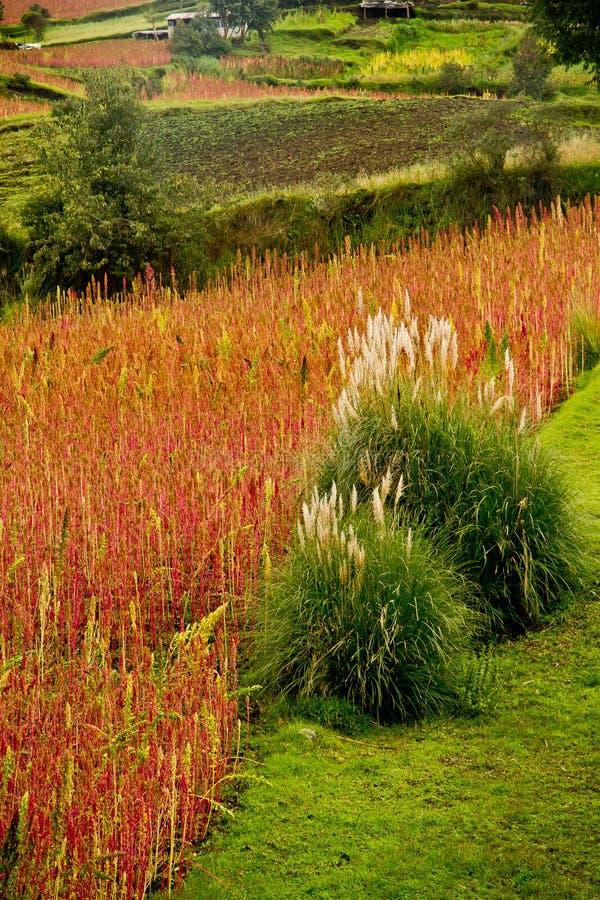 Quinoa plantations in Chimborazo, Ecuador stock photos