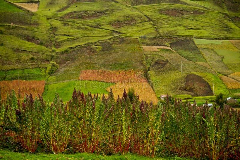 Quinoa plantations in Chimborazo, Ecuador stock images