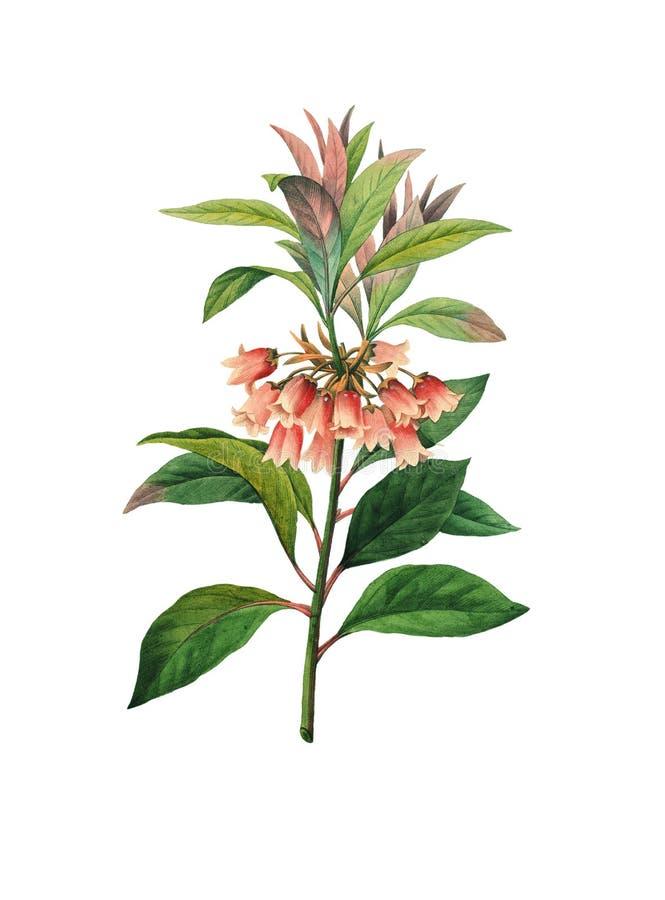 Quinqueflorus de Enkianthus   Ilustrações antigas da flor ilustração stock