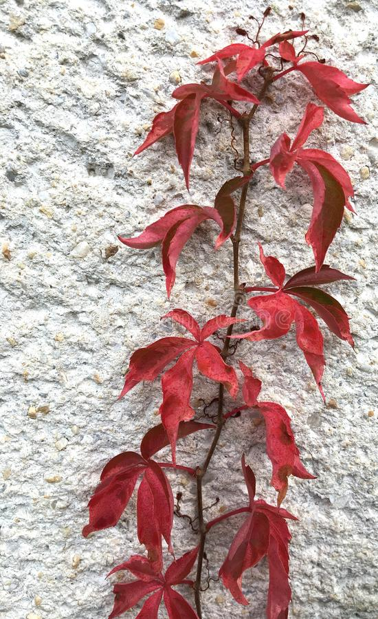 Quinquefolia Parthenocissus, Λιάνα με τα κόκκινα φύλλα, που καρφώνονται στον τοίχο στοκ φωτογραφία με δικαίωμα ελεύθερης χρήσης