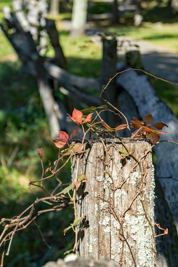 """Quinquefolia Parthenocissus do †de Virginia Creeper do """" fotos de stock"""