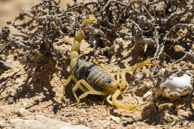 Quinquestriatus di Leiurus del deathstalker dello scorpione fotografia stock libera da diritti