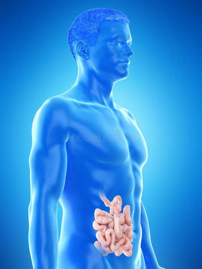 ?quipe l'intestin gr?le illustration de vecteur