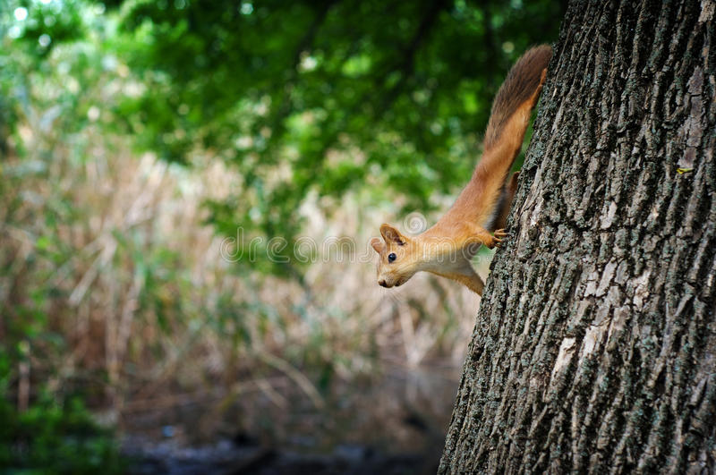 Quirrel with red fur royalty free stock photos