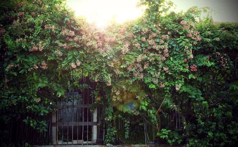 Quisqualis印度花是芬芳爬行物 免版税库存图片