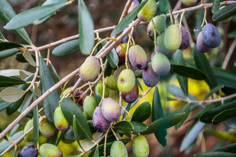 Quite mature olives ready for being collected stock photography
