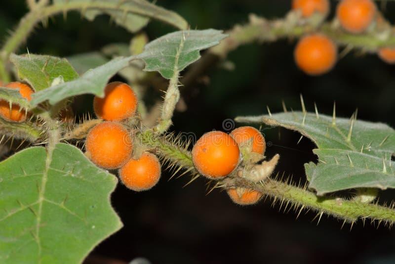 Quitoense do Solanum de Naranjilla fotografia de stock royalty free