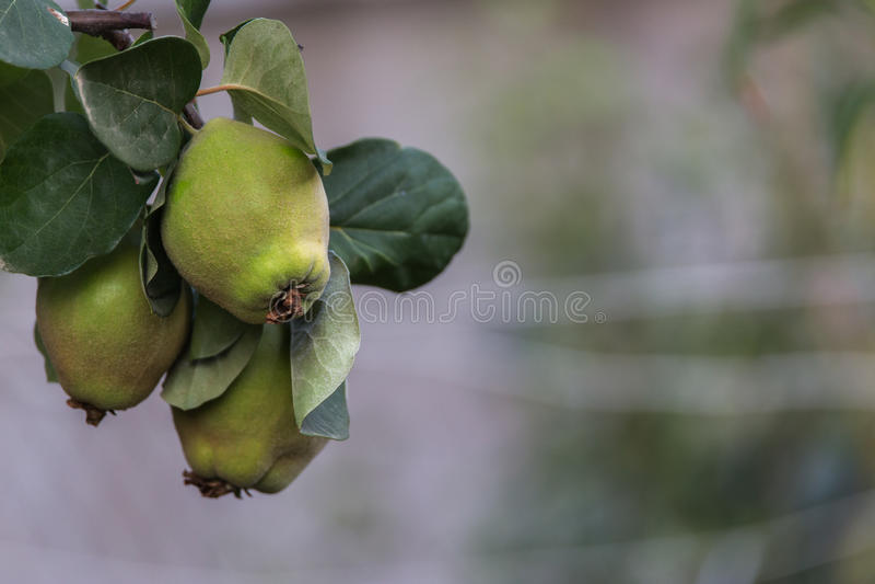 Quittefrucht auf Baum lizenzfreie stockfotos