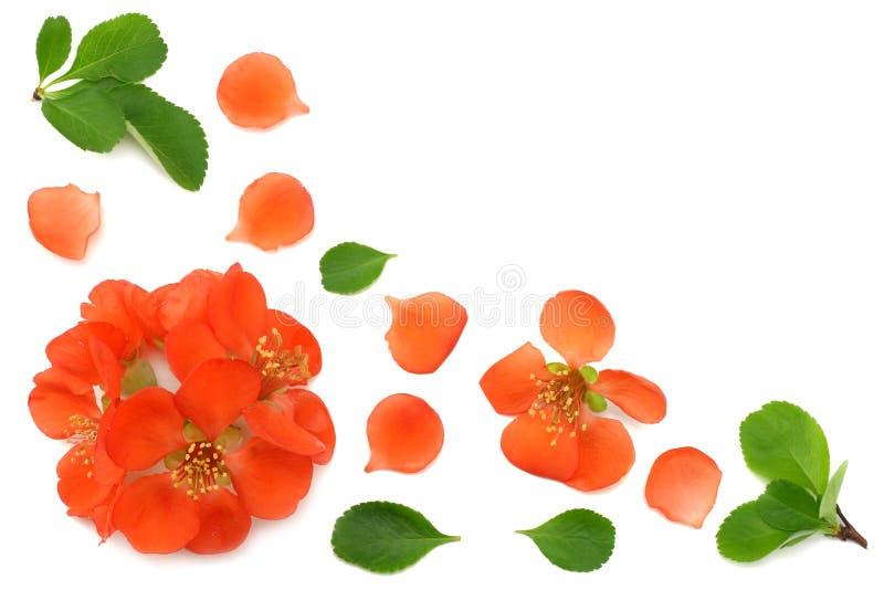 Quittenblüte lokalisiert auf weißem Hintergrund Rote Blumen Draufsicht mit Kopienraum lizenzfreies stockfoto