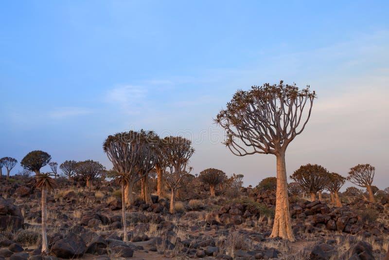 Quiver bomenbos op blauwe hemelachtergrond, Afrikaans landschap in Keetmanshoop, Namibië stock foto's
