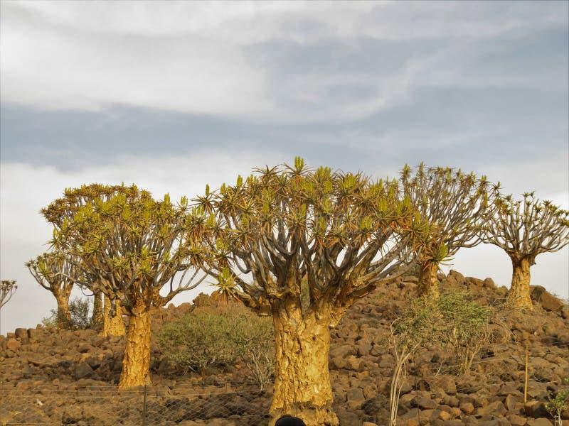 Quiver boom op rotsen in een vakantietoevlucht dicht bij Keetmanshoop in Namibi? royalty-vrije stock foto