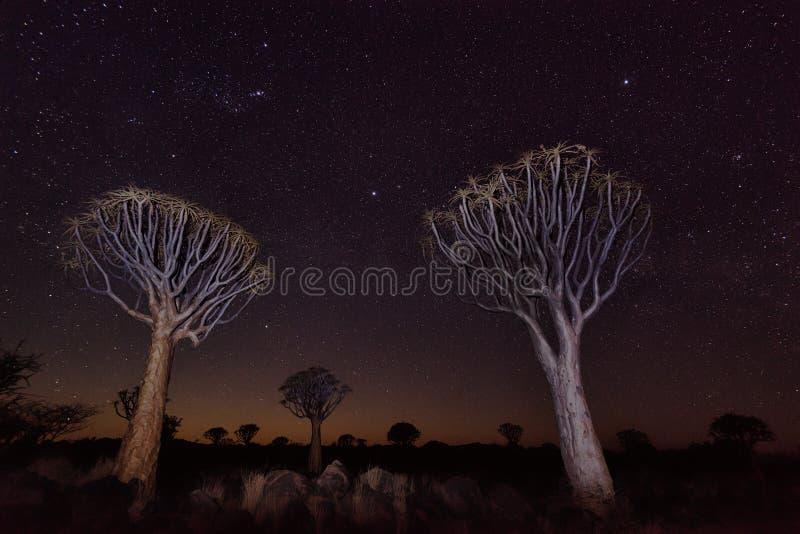 Quiver Boombos in Zuidelijk die Namibië in Januari 2018 wordt genomen royalty-vrije stock foto