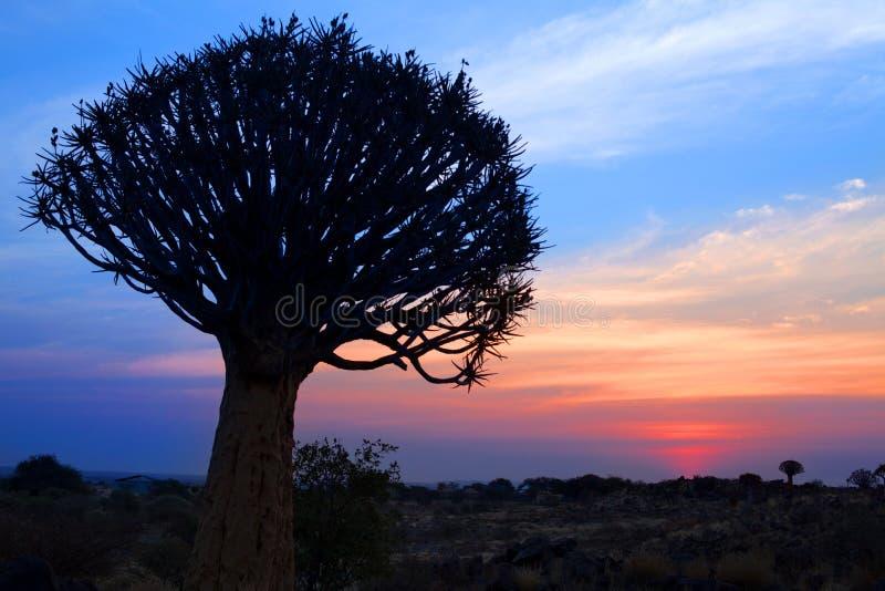 Quiver boomsilhouet op de heldere achtergrond van de zonsonderganghemel, prachtig Afrikaans landschap in Keetmanshoop, Namibië stock afbeelding