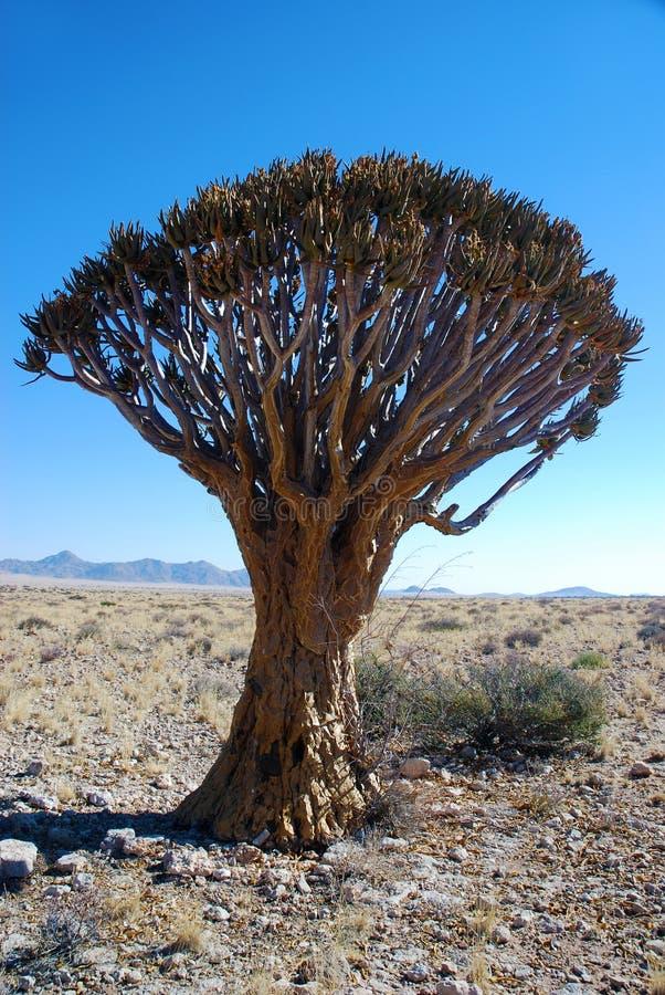Quiver o kokerboom in Namibia fotografia stock