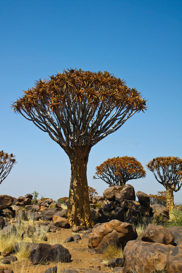 Download Quiver tree stock image. Image of africa, african, namibia - 11683251