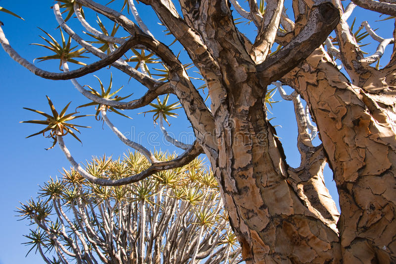 Download Quiver Tree stock image. Image of dramatic, aloe, light - 14397361