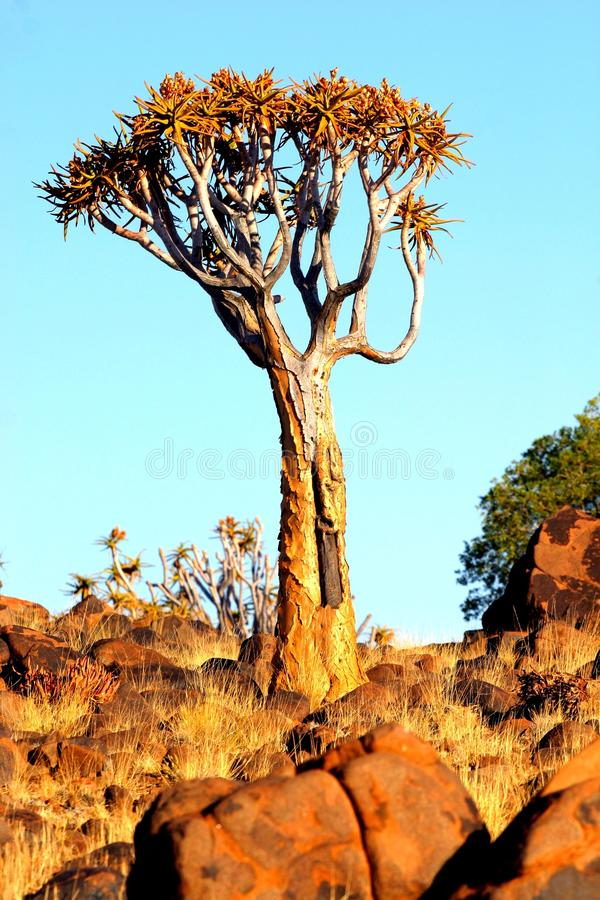 Quiver Tree Royalty Free Stock Image