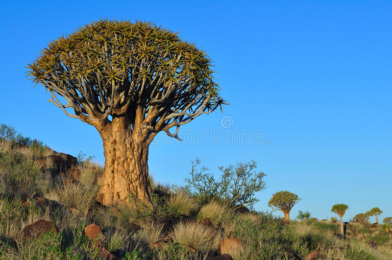 Download Quiver tree stock photo. Image of park, plant, blue, climate - 23614786