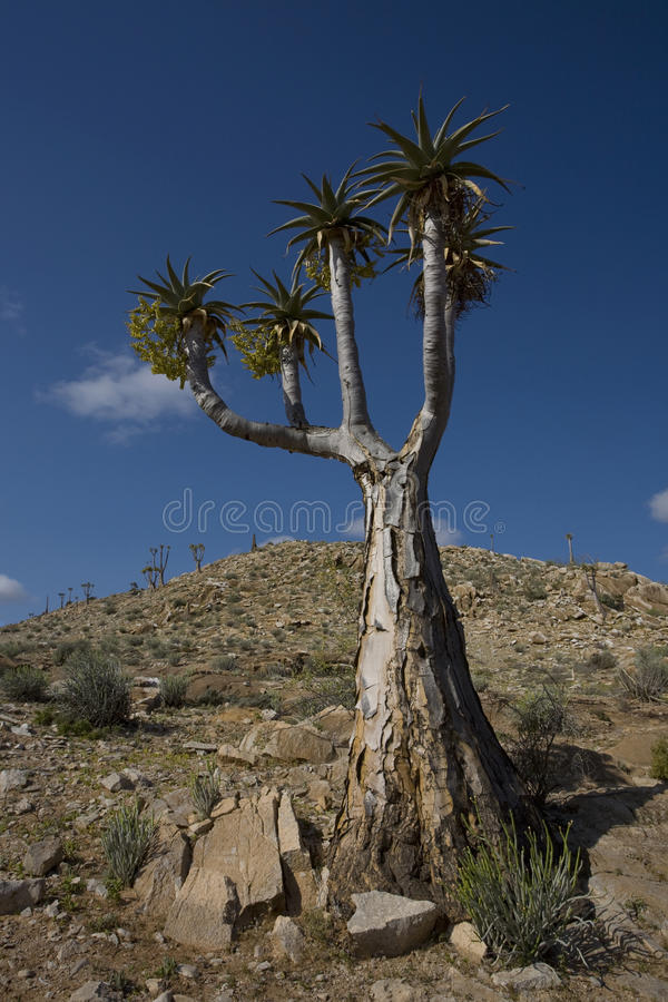 Download Quiver tree stock photo. Image of vertical, photography - 25862830