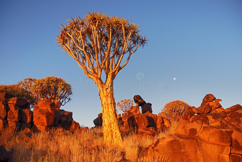 Download Quiver tree stock image. Image of stones, sunset, light - 26247163