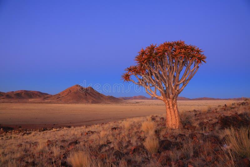 Download Namibia - Quiver Tree stock photo. Image of glow, koiimasis - 27572740
