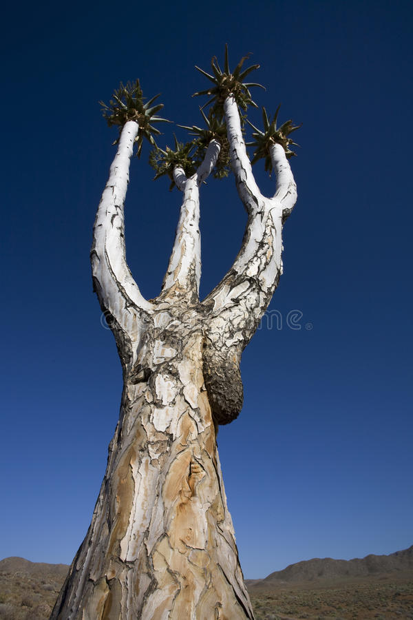 Download Quiver Tree, Africa. Stock Photos - Image: 25864773