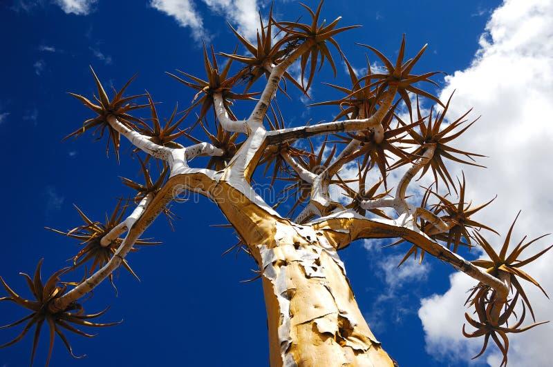 Quiver Tree (Aloe dichotoma) stock image