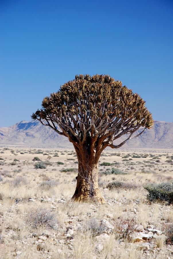 Quiver tree eller kokerboom i Namibia arkivfoto