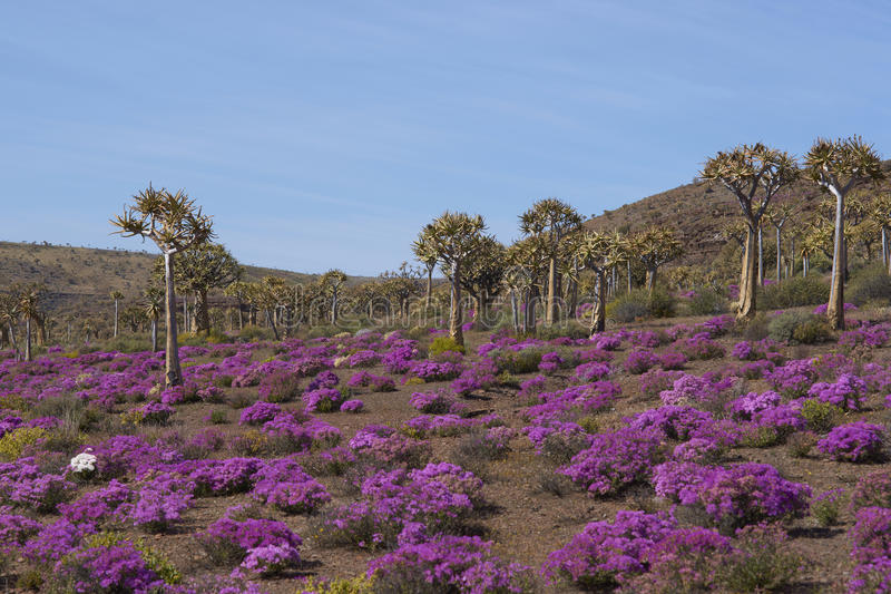 Download Quiver tree forest stock photo. Image of northern, quiver - 26159862