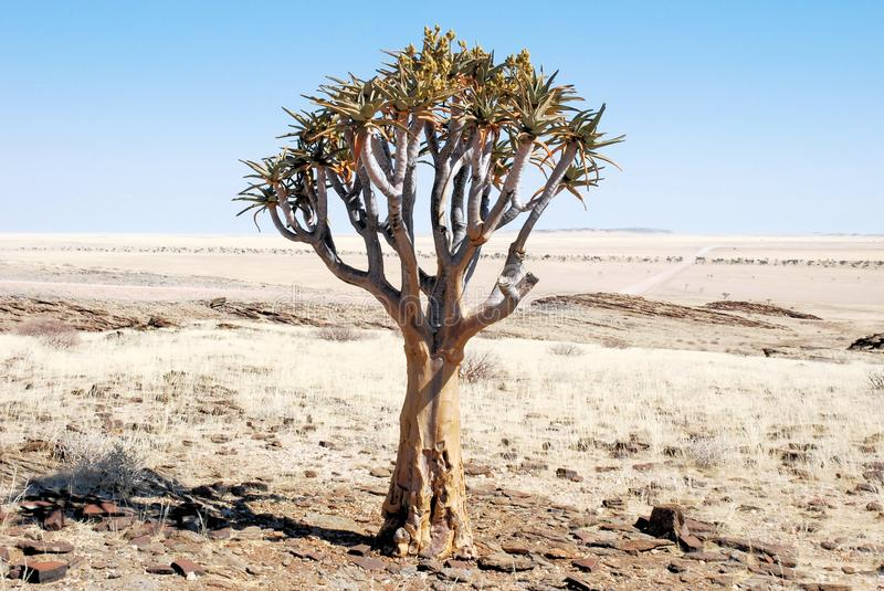 Quiver tree or kokerboom with flowers in dry desert. With yellow withered grass, stone-Southern Namibia - Africa royalty free stock image