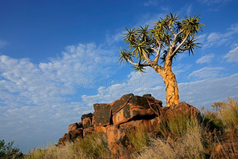 Quiver tree landscape stock image