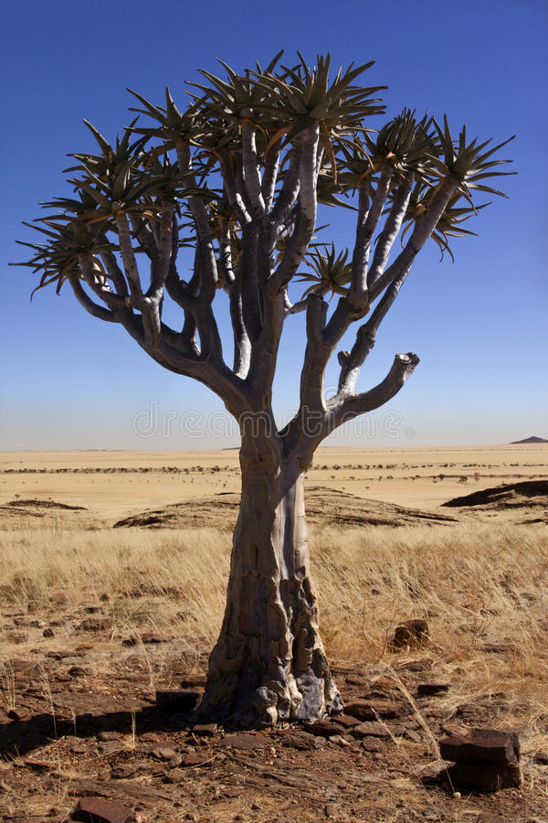 Quiver Tree - Namib-Naukluft Desert - Namibia royalty free stock photos