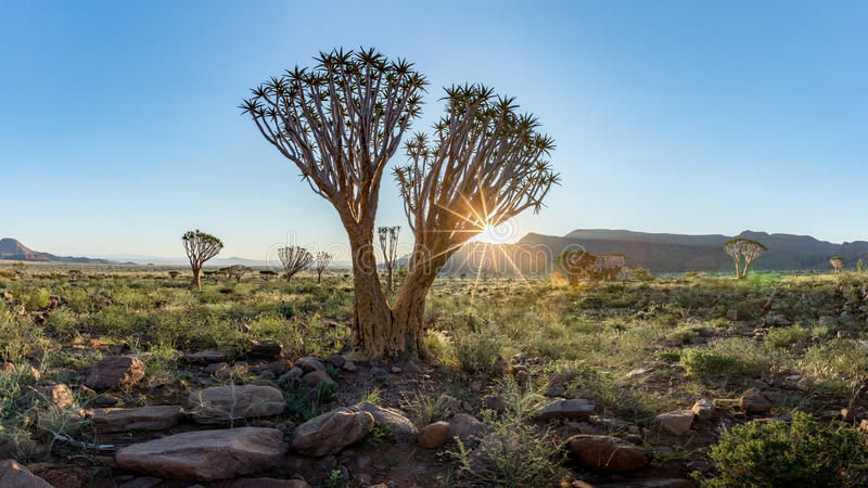Quiver Tree, Namib Rand Reserve, Namibia. Quiver Tree Aloe dichotoma in the Namib Rand Nature Reserve in Namibia stock images