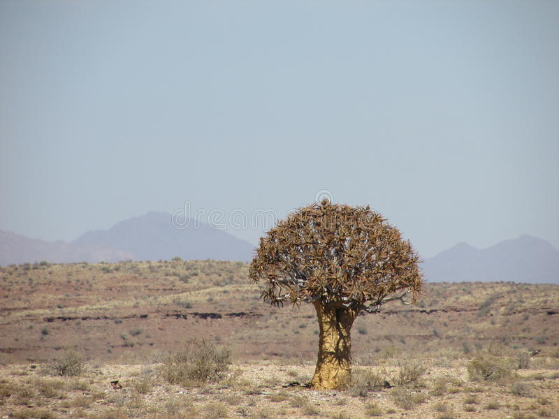 Solitary quaker tree in Namibian desert with mountains in backround and desert vegitation in kalahari. Solitary tree in dry Namibian desert in afternoon. The royalty free stock photography