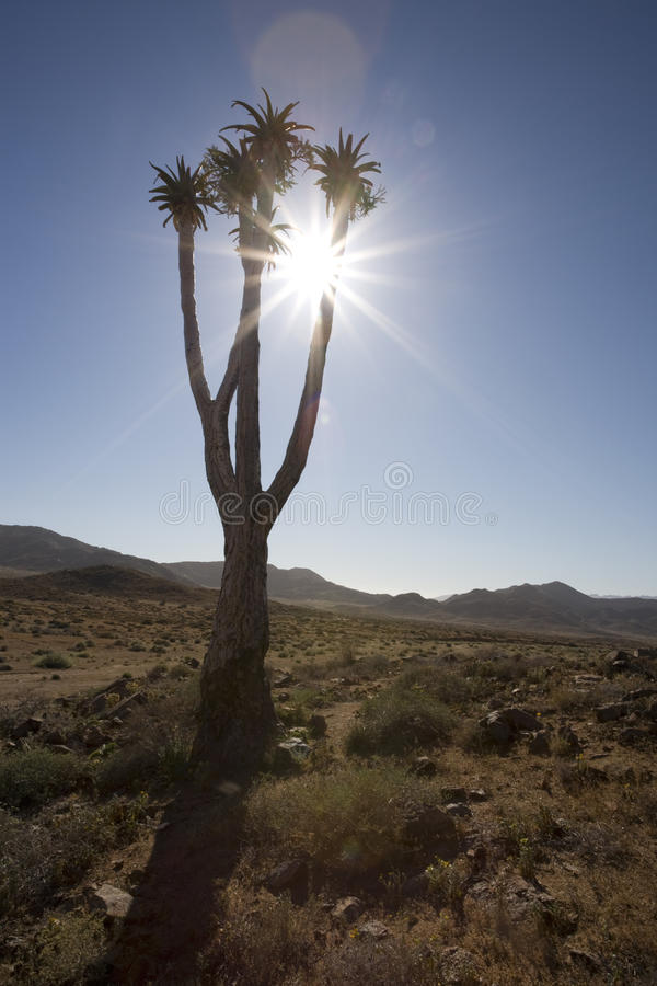 Quiver tree in the Richtersveld National Park, Sou royalty free stock photo