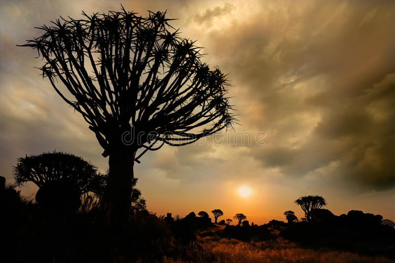 Download Quiver tree silhouette stock image. Image of unspoiled - 13209731