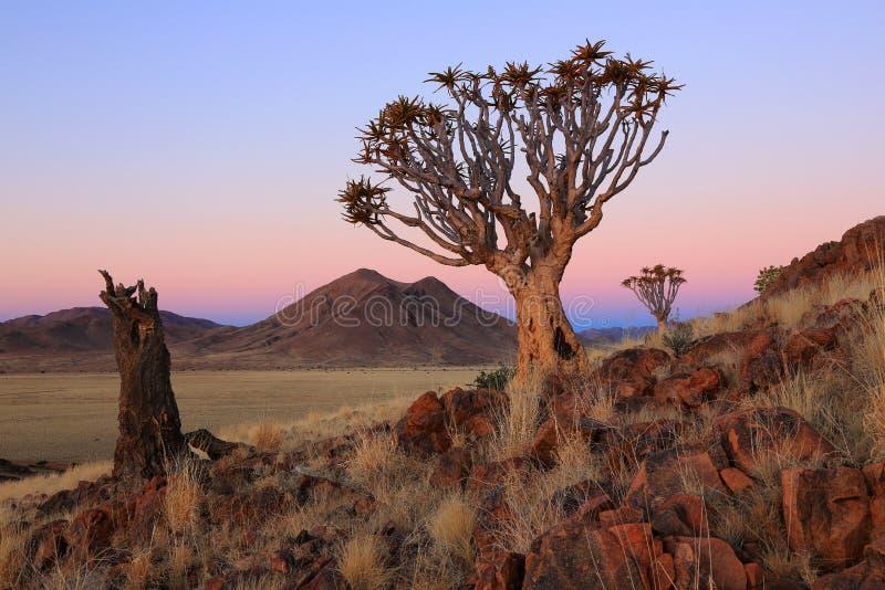 Namibia - Quiver Trees royalty free stock photos
