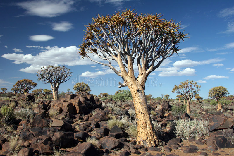 Download Quiver trees stock photo. Image of lifeless, feature, granite - 5102972