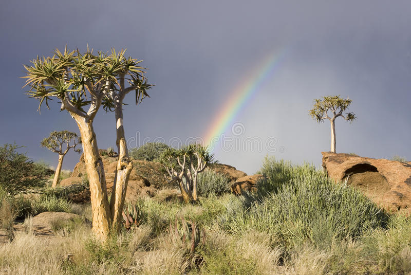 Quiver trees on a hill in South Africa stock photo